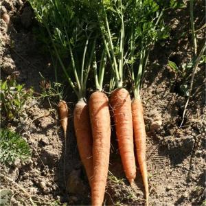 carottesrothild