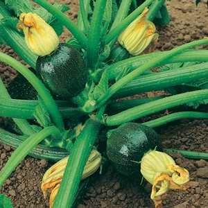 Courgette-Eight-Ball-F1-Hybrid